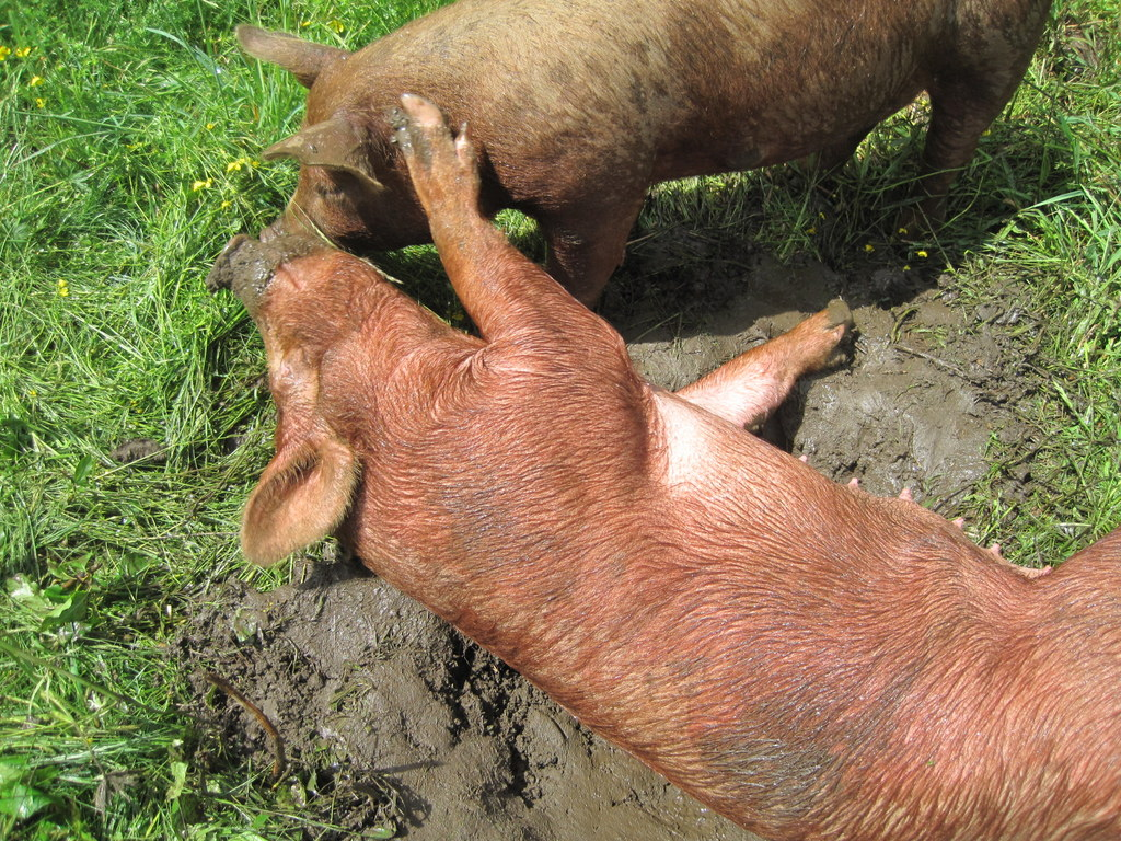 Summer Pig Dreams include green grass & cool mud