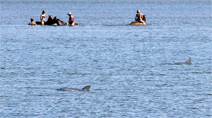 Bottlenose Dolphins swimming with horses.