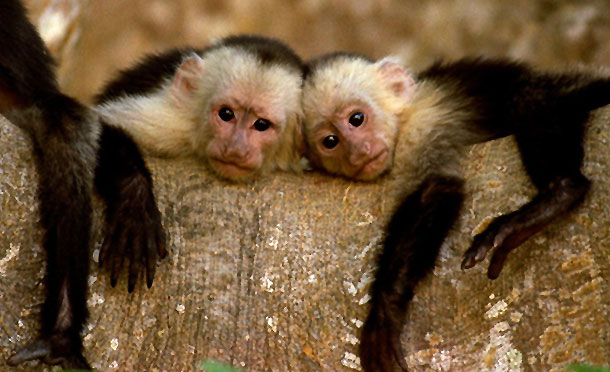 whitefacedcapuchinmonkeys