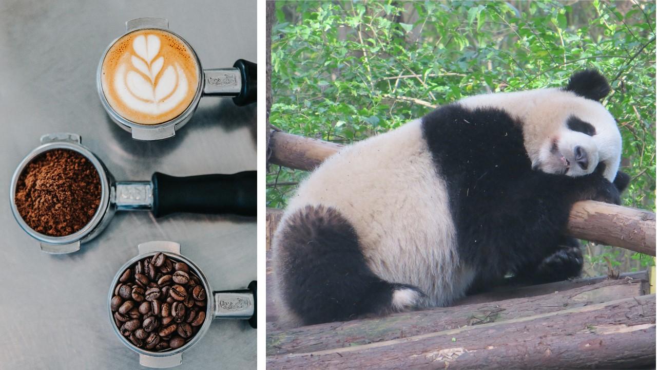 Caffe pandas